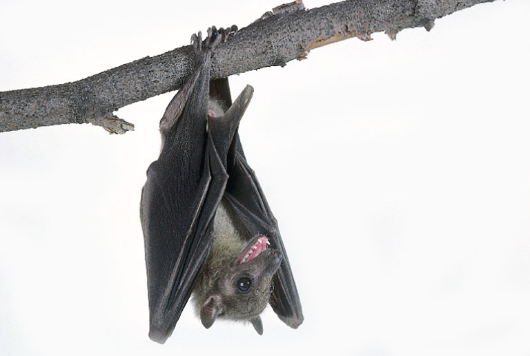 Bat hanging upside down from tree limb